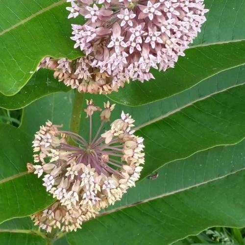 Milkweed blossom and leaves with an insect.